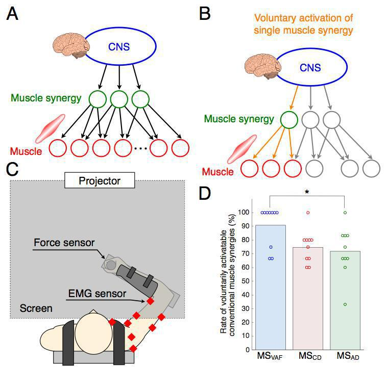 Elucidating mechanisms of voluntary control of human multi-muscle